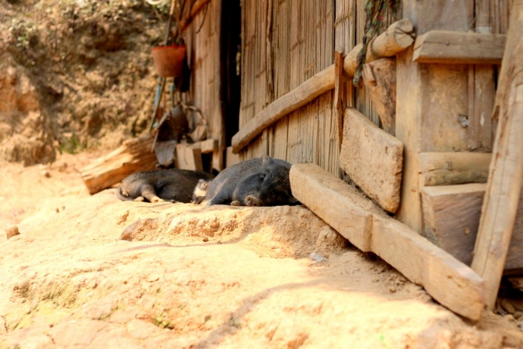 Pigs snoozing by the Mekong River