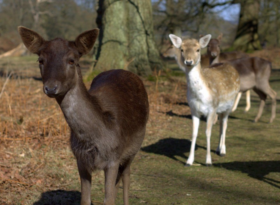 Knole House and deer parkland