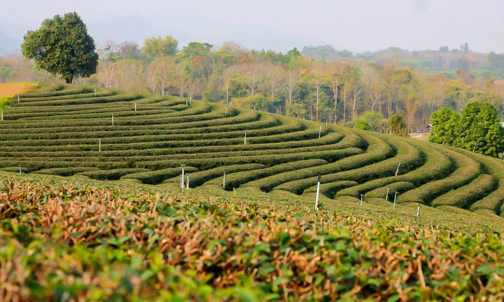 Choui Fong Tea Plantation, chiang rai